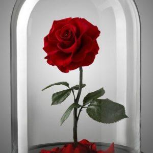 Trandafiri CR03