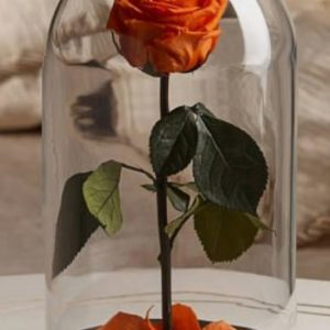 Trandafiri CR08